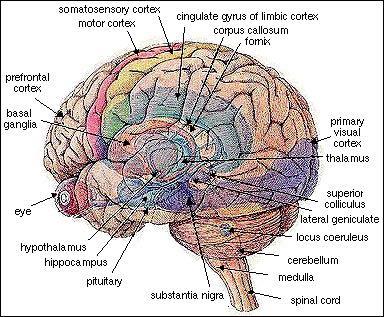 The illuminated brain